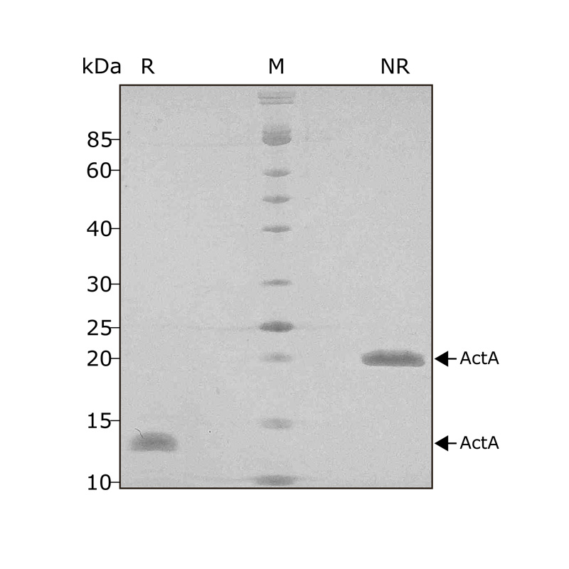 Recombinant Activin A protein optimised for bulk culture purity in SDS-PAGE