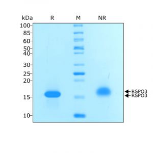 Recombinant human R-spondin 3 protein purity in SDS-PAGE