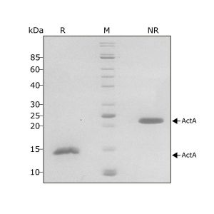 Human Activin A Qk001 protein purity SDS-PAGE lot #011