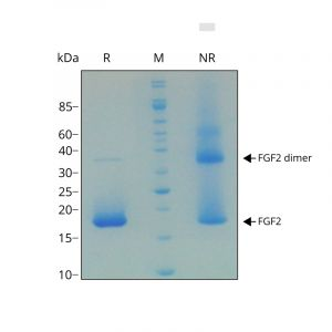 Recombinant zebrafish FGF2 protein purity in SDS-PAGE