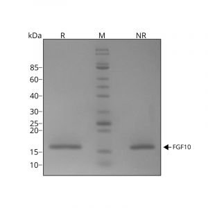 Recombinant human FGF10 protein purity in SDS-PAGE