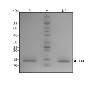 Recombinant FGF-4 protein purity in SDS-PAGE