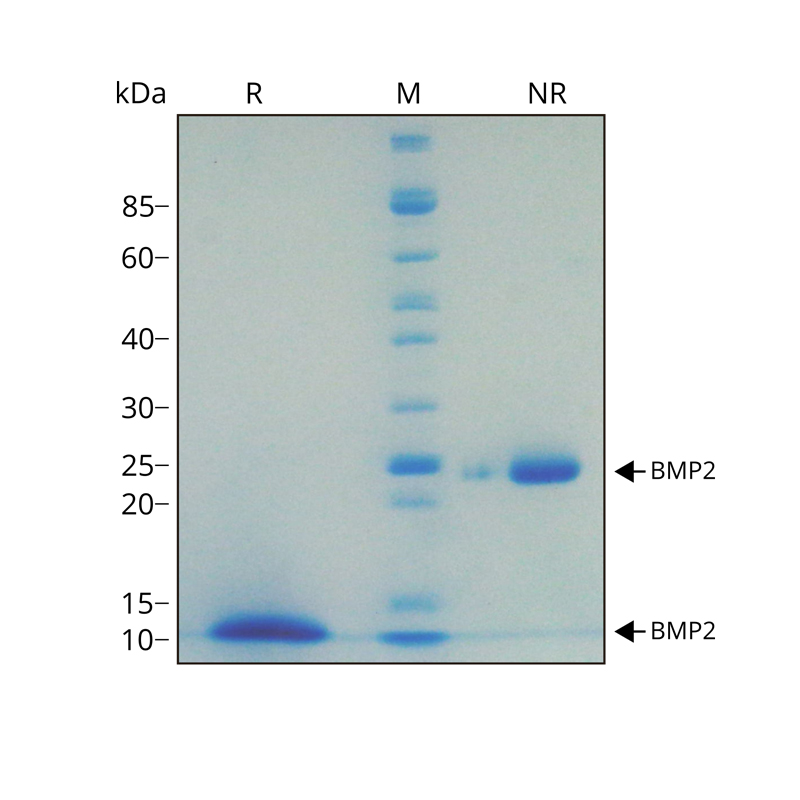 Recombinant human BMP2 protein purity in SDS-PAGE