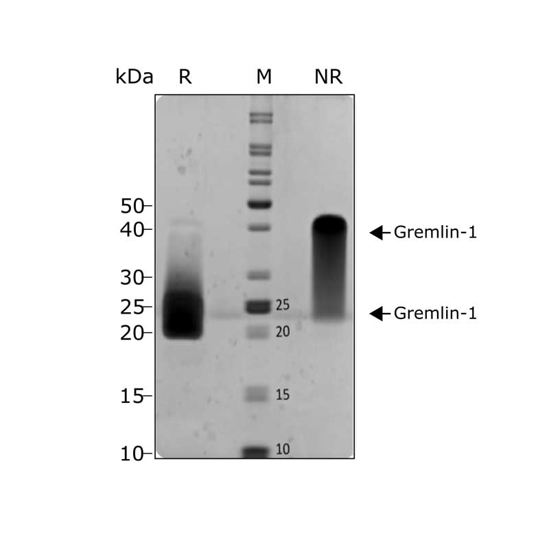 Recombinant human Gremlin 1 protein purity in SDS-PAGE