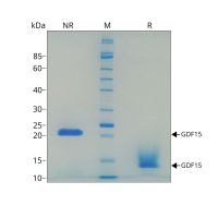 Recombinant human GDF15 protein purity in SDS-PAGE