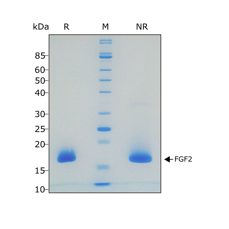 Recombinant bFGF / FGF-22 protein purity in SDS-PAGE