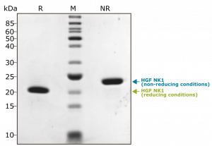 Recombinant human HGF (NK1) protein purity in SDS-PAGE