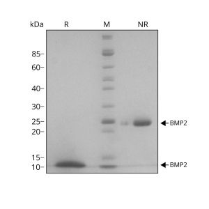 Human BMP2 Qk007 protein purity SDS-PAGE lot #010
