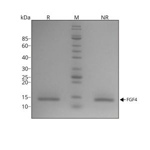 human-FGF-4-Qk004-protein-purity-lot-010