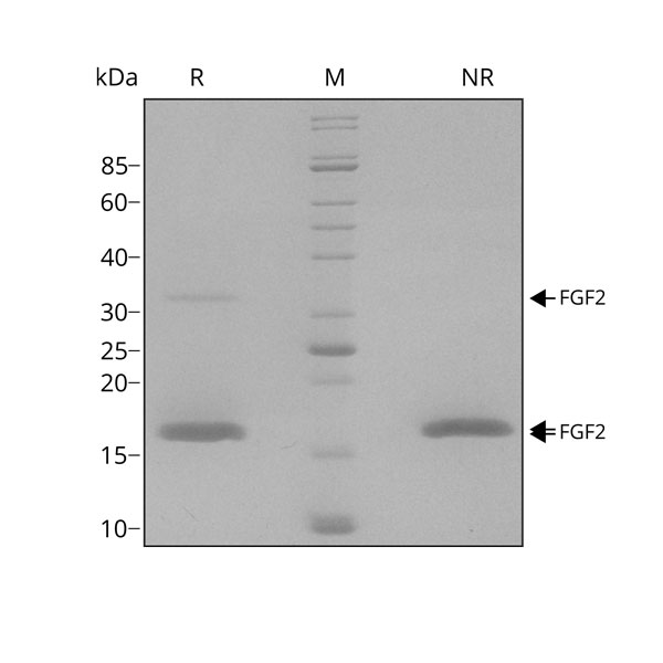 Human FGF2 / bFGF Qk025 protein purity SDS-PAGE lot #014