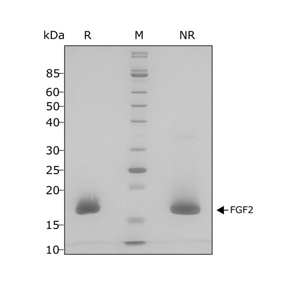 Human FGF2/bFGF Qk027 protein purity SDS-PAGE lot #010