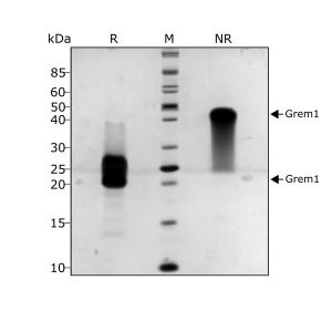 Human Gremlin Qk015 protein purity SDS-PAGE lot #011