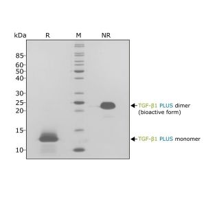 Human TGF beta 1 PLUS Qk010 protein purity SDS-PAGE lot #012