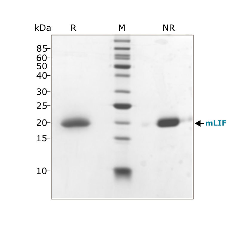 Qk018 mouse LIF purity shown in SDS-PAGE