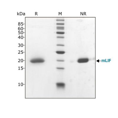 Mouse LIF Qk018 protein purity SDS-PAGE lot #104278