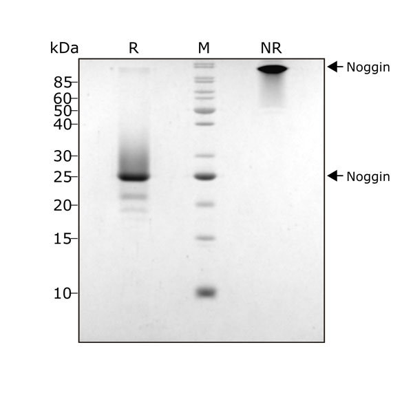 Human Noggin Qk034 protein purity SDS-PAGE lot 104285