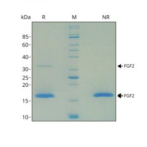 SDS-PAGE gel showing purity of human FGF2 (bFGF) protein
