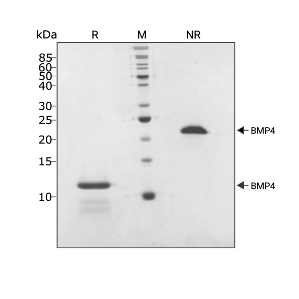 Human BMP4 Qk038 protein purity lot #104294