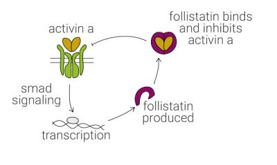 Activin A is regulated by negative feedback due to accumulation of follistatin