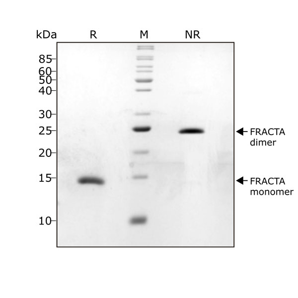follistatin resistant activin A FRACTA Qk035 protein purity lot #104287
