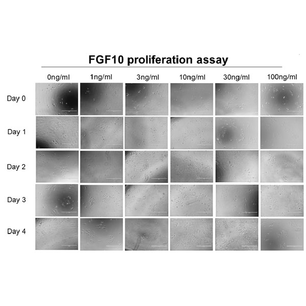 FGF-10 induces proliferation of human primary keratinocytes