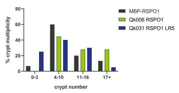 Intestinal organoid crypt multiplicity