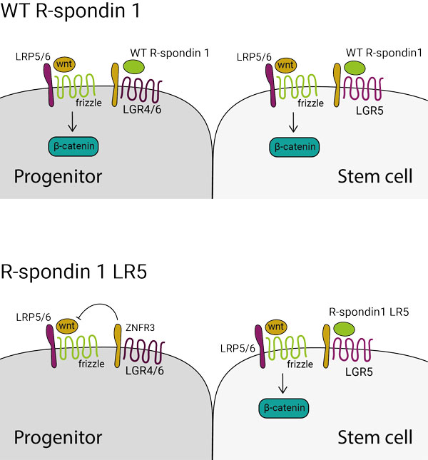 R-spondin 1 LR5 specifically activates Wnt signalling in lgr5+ stem cell population