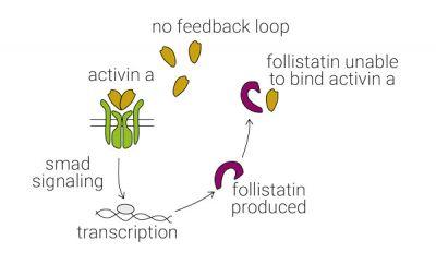 Follistatin Activin A is not inhibited by accumulation of follistatin