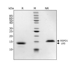 Human R-spondin 1 LR5 Qk031 protein purity lot #104286