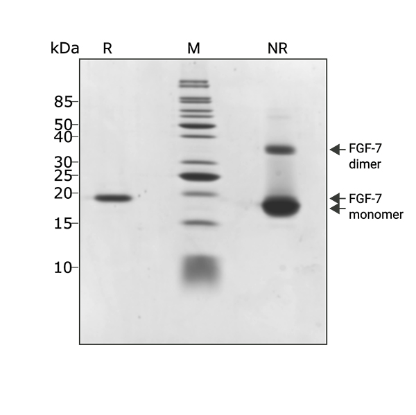 Zebrafish FGF2 / bFGF Qk002 protein purity SDS-PAGE lot #011