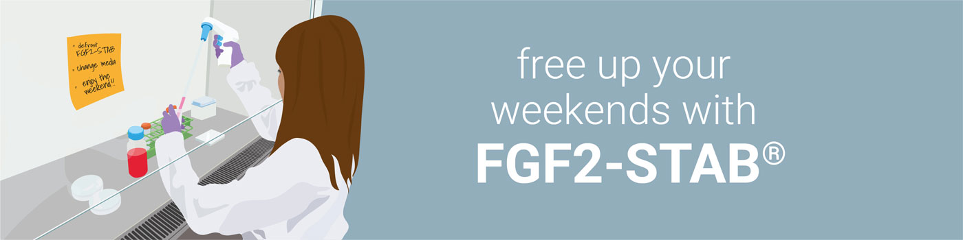 stabilised FGF2-STAB / bFGF2 for weekend-free culture